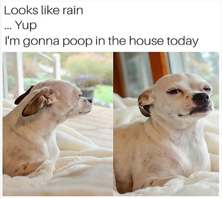 sunday meme of a dog sitting on a bed and thinking about pooping in the house because it's raining