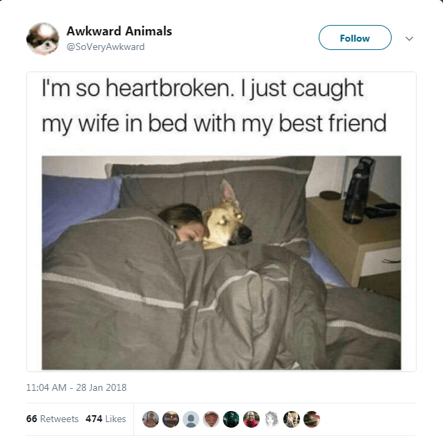Photo caption - Awkward Animals Follow @SoVeryAwkward I'm so heartbroken. Ijust caught my wife in bed with my best friend 11:04 AM 28 Jan 2018 66 Retweets 474 Likes