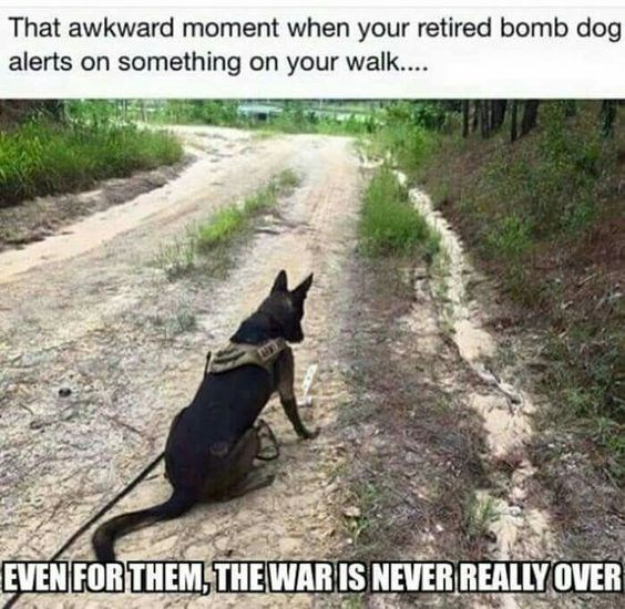 Canidae - That awkward moment when your retired bomb dog alerts on something on your walk.. EVEN FOR THEM, THEWAR IS NEVER REALLY OVER