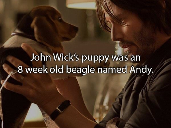 Dog breed - John Wick's puppy was an 8 week old beagle named Andy