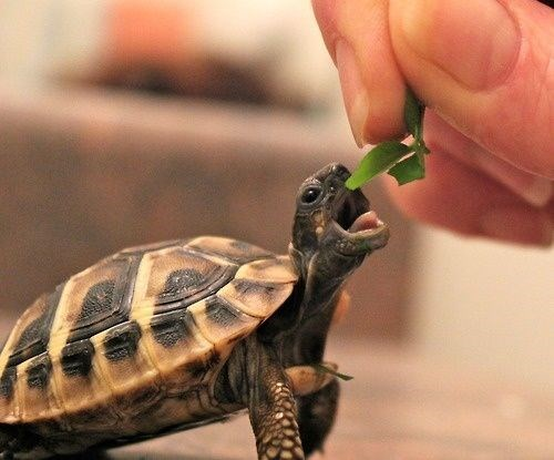 cute animals eating - Tortoise