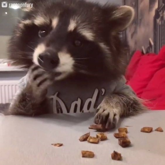 cute animals eating - Procyon - raconfury Mady
