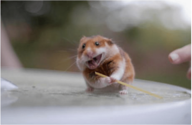 cute animals eating - Hamster