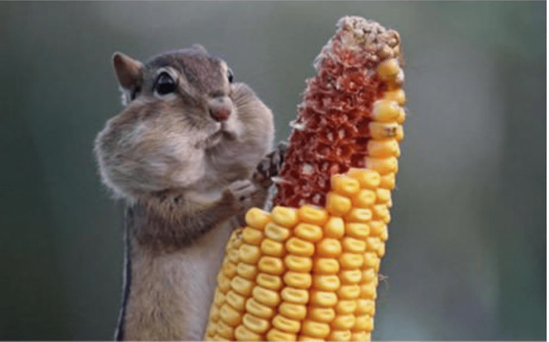 cute animals eating - Corn on the cob