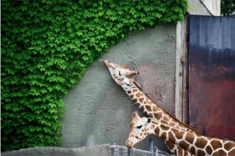 cute animals eating - Giraffe
