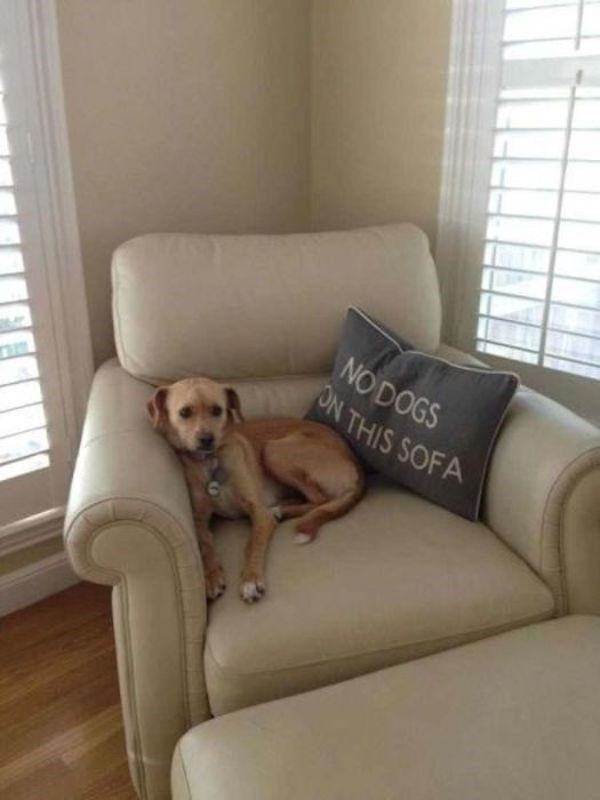 Dog - NO DOGS ON THIS SOFA