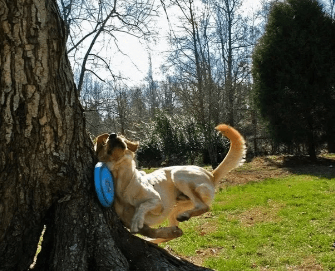 dog chasing frisbee into a tree
