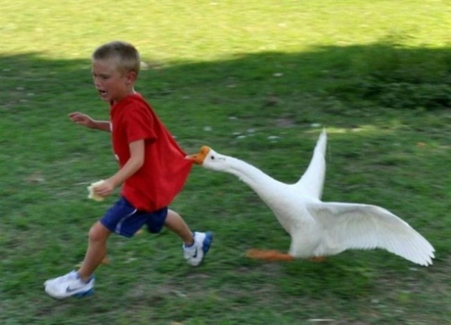Duck chasing a kid and biting his ass