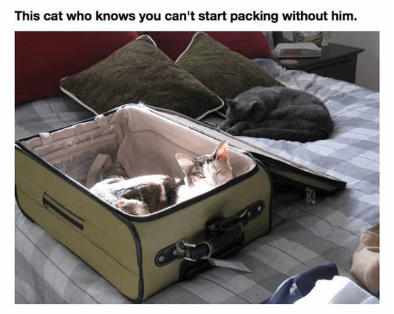 Furniture - This cat who knows you can't start packing without him.