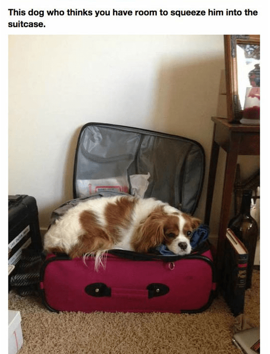 Dog - This dog who thinks you have room to squeeze him into the suitcase.