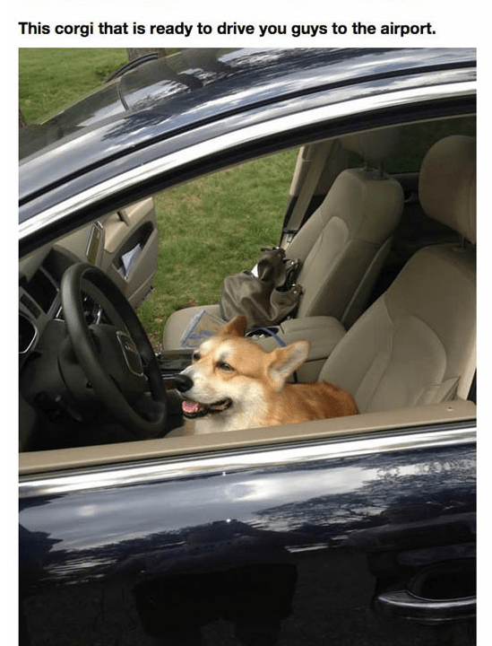 Dog - This corgi that is ready to drive you guys to the airport