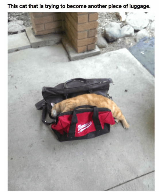 Bag - This cat that is trying to become another piece of luggage. Thuane