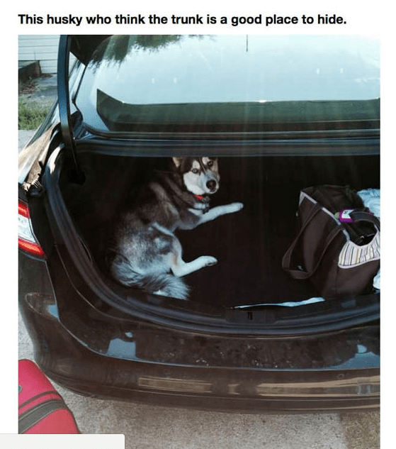 Vehicle door - This husky who think the trunk is a good place to hide.