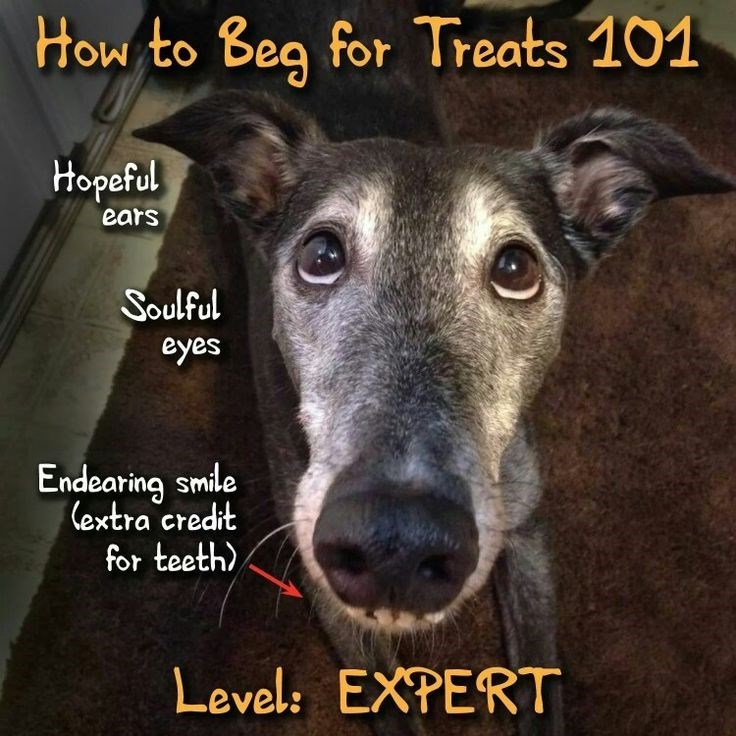 Dog - How to Beg for Treats 101 Hopeful ears Soulful eyes Endearing smile (extra credit for teeth) Level: EXPERT