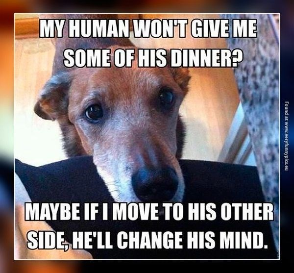 Canidae - MY HUMAN WONT GIVE ME SOME OF HIS DINNER? MAYBE IF I MOVE TO HIS OTHER SIDE HELL CHANGE HIS MIND. Found at www.veryfunnypics.eu
