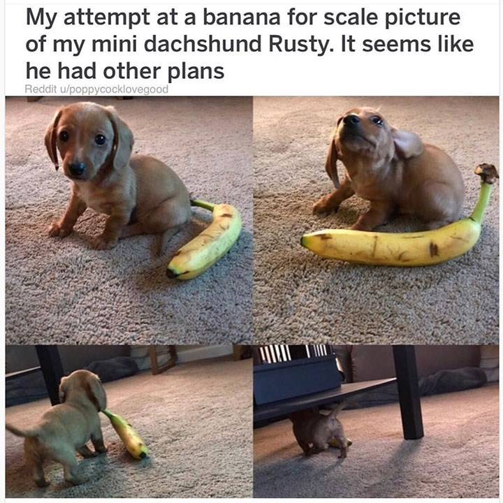 dog meme of a puppy that took a banana as a toy instead of posing with it