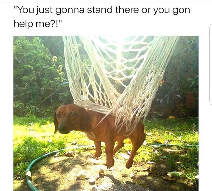 dog meme of a dog that got stuck in a net