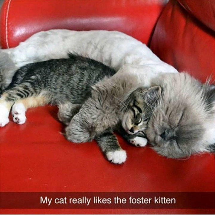 caturday - Cat - My cat really likes the foster kitten