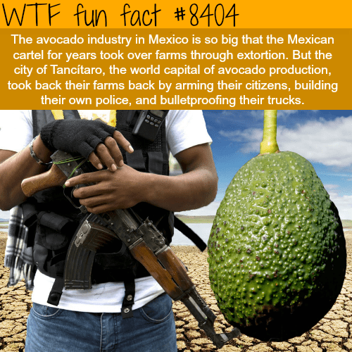 Breadfruit - WTF fun fact #8404| The avocado industry in Mexico is so big that the Mexican cartel for years took over farms through extortion. But the city of Tancítaro, the world capital of avocado production, took back their farms back by arming their citizens, building their own police, and bulletproofing their trucks.