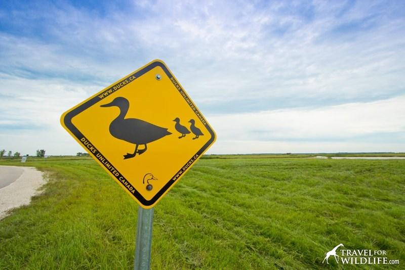 Flightless bird - www.DUCKS.CA TRAVELFOR WILDLIFE.com DUCKS CANADA www.DUCKS.CA DUCKS UNLIMITED CANADA