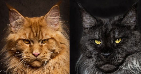 floof photography maine coon majestic portrait Cats - 912645