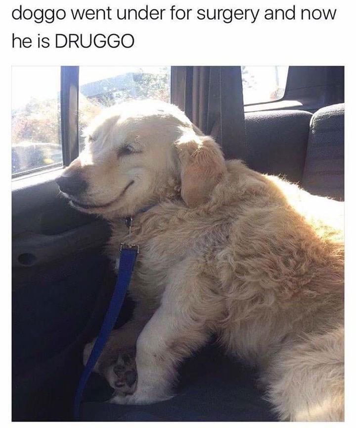 dog meme of a doggo that went for surgery so now he's a druggo
