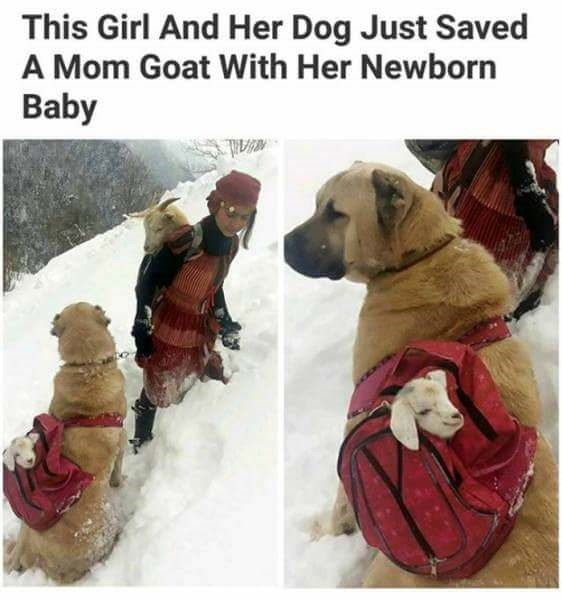 Canidae - This Girl And Her Dog Just Saved A Mom Goat With Her Newborn Baby