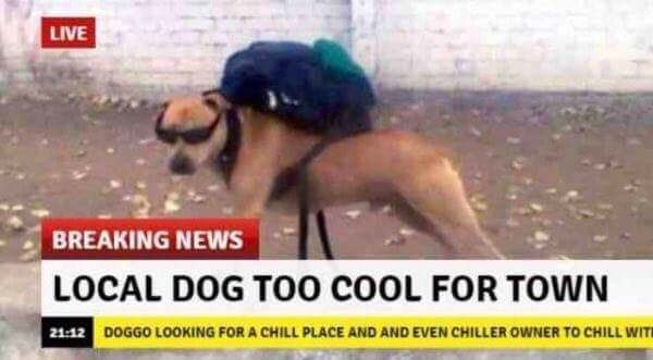 Photo caption - LIVE BREAKING NEWS LOCAL DOG TOO COOL FOR TOWN 2112 DOGGO LOOKING FOR A CHILL PLACE AND AND EVEN CHILLER OWNER TO CHILL WITE