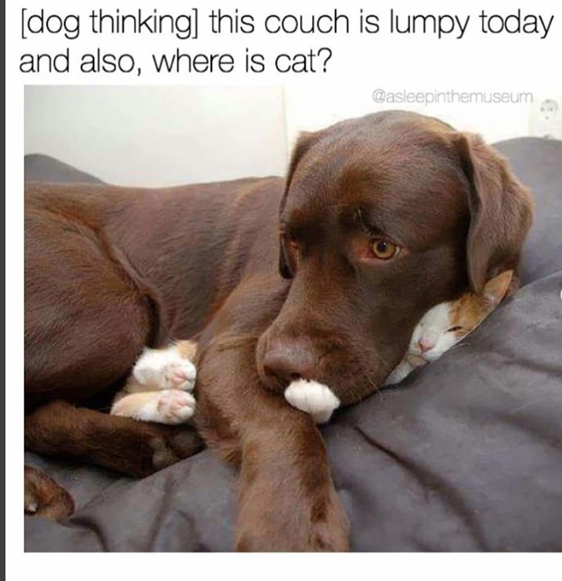 Dog breed - [dog thinking] this couch is lumpy today and also, where is cat? @asleepinthemuseum