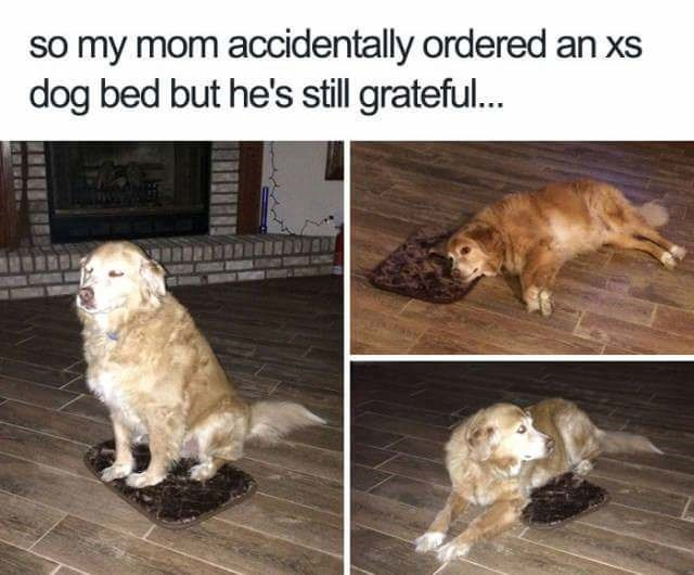 Dog - so my mom accidentally ordered an xs dog bed but he's still grateful...