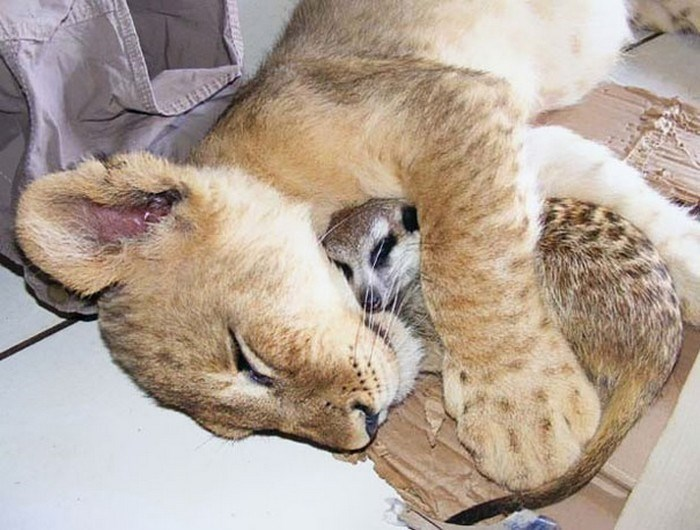 animals napping together - Felidae