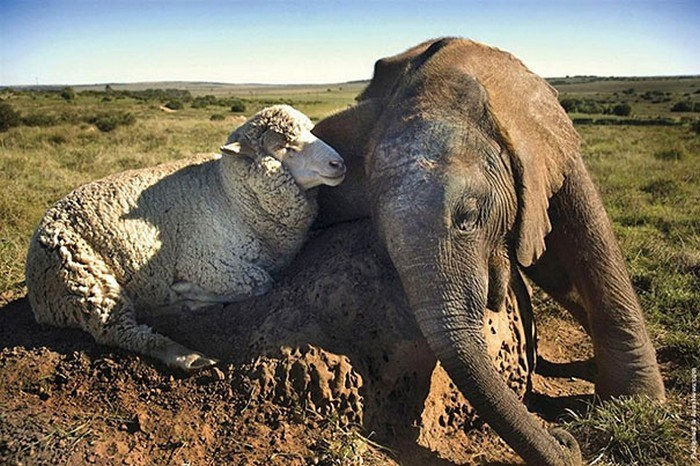 animals napping together - Elephant