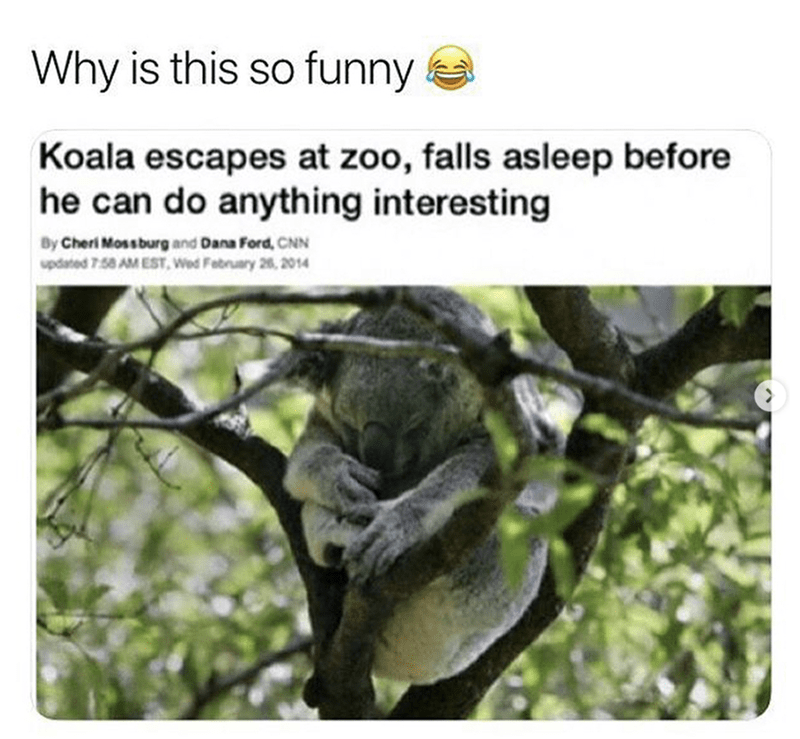 Organism - Why is this so funny Koala escapes at zoo, falls asleep before he can do anything interesting By Cheri Mossburg and Dana Ford, CNN updated 7.58 AM EST, Wed February 26, 2014