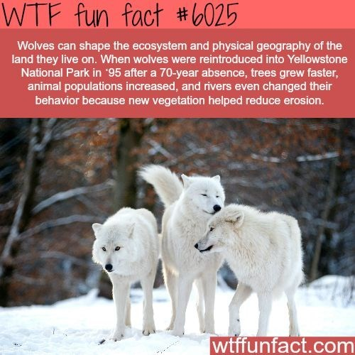Mammal - WTF fun fact #025 Wolves can shape the ecosystem and physical geography of the land they live on. When wolves were reintroduced into Yellowstone National Park in 95 after a 70-year absence, trees grew faster, animal populations increased, and rivers even changed their behavior because new vegetation helped reduce erosion. wtffunfact.com