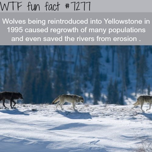 Wildlife - WTF fun fact #1217 Wolves being reintroduced into Yellowstone in 1995 caused regrowth of many populations and even saved the rivers from erosion