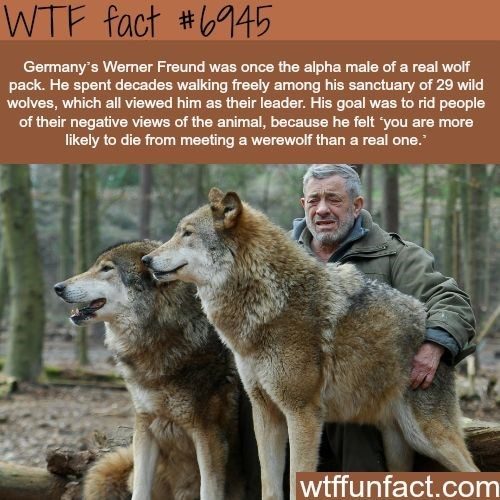 Mammal - WTF fact #45 Germany's Werner Freund was once the alpha male of a real wolf pack. He spent decades walking freely among his sanctuary of 29 wild wolves, which all viewed him as their leader. His goal was to rid people of their negative views of the animal, because he felt 'you are more likely to die from meeting a werewolf than a real one. wtffunfact.com
