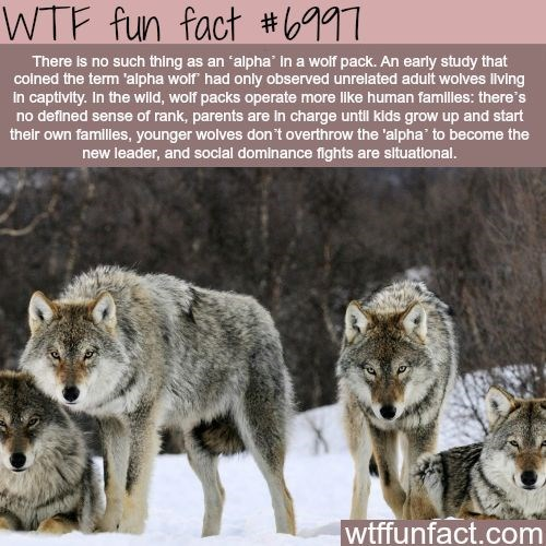 Mammal - WTF fun fact #997 There is no such thing as an 'alpha Ina wolf pack. An early study that colned the term 'alpha wolf had only observed unrelated adult wolves living In captivity. In the wild, wolf packs operate more like human familles: there's no defined sense of rank, parents are in charge until kids grow up and start their own familles, younger wolves don't overthrow the 'alpha' to become the new leader, and social dominance fights are slituational. wtffunfact.com