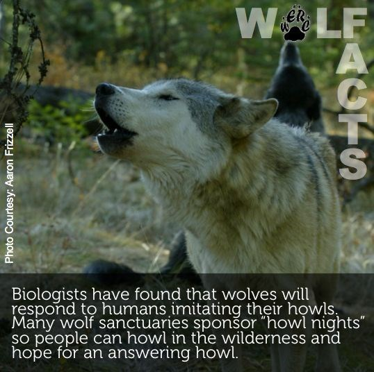 """Mammal - ER Biologists have found that wolves will respond to humans imitating their howls Many wolf sanctuaries sponšor """"howl nights"""" so people can howl in the wilderness and hope for an answering howl Photo Courtesy: Aaron Frizzell FAGFS"""