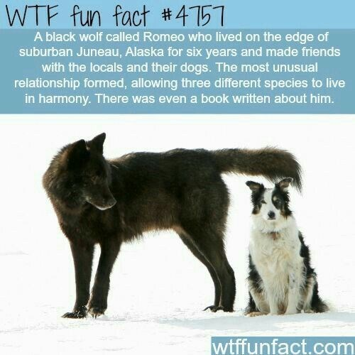Mammal - WTF fun fact 4151 A black wolf called Romeo who lived on the edge of suburban Juneau, Alaska for six years and made friends with the locals and their dogs. The most unusual relationship formed, allowing three different species to live in harmony. There was even a book written about him. wtffunfact.com
