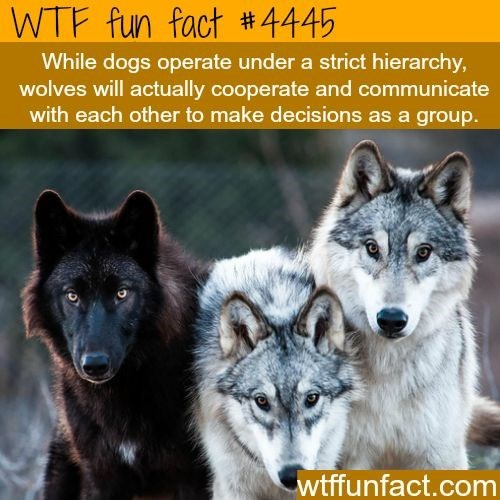 Mammal - WTF fun fact 4445 While dogs operate under a strict hierarchy, wolves will actually cooperate and communicate with each other to make decisions as a group. wtffunfact.com