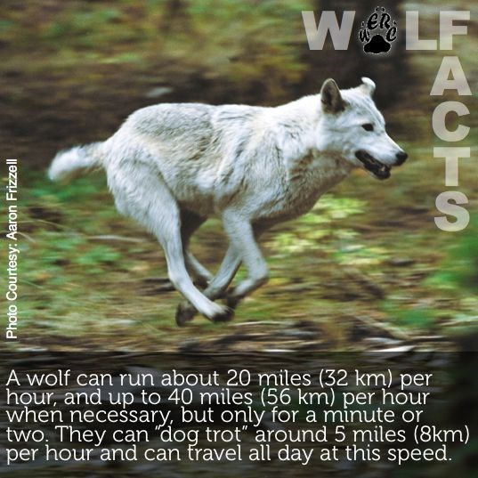"""Mammal - WALF A ER e A wolf can run about 20 miles (32 km) per hour, and up to 40 mileş (56 km) per hour when necessary, but only for a minute or two. They can """"dog trot"""" around 5 miles (8km) per hour and can travel all day at this speed. Photo Courtesy: Aaron Frizzell BRCTS"""