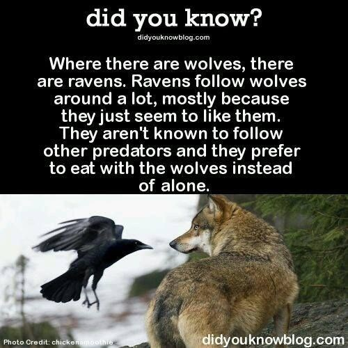 Wildlife - did you know? didyouknowblog.com Where there are wolves, there are ravens. Ravens follow wolves around a lot, mostly because they just seem to like them. They aren't known to follow other predators and they prefer to eat with the wolves instead of alone. didyouknowblog.com Photo Credit: chickenamoothre