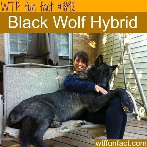 Canidae - WTF fun fact #82 Black Wolf Hybrid wtffunfact.com