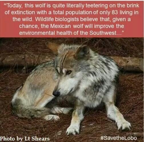 """Mammal - """"Today, this wolf is quite literally teetering on the brink of extinction with a total population of only 83 living in the wild. Wildlife biologists believe that, given a chance, the Mexican wolf will improve the environmental health of the Southwest... #SavetheLobo Photo by Lt Shears"""