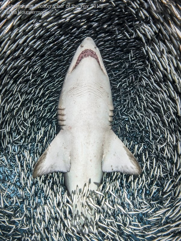 Shark - OUdenvater notographer of the Year 2018 aya Houppermane
