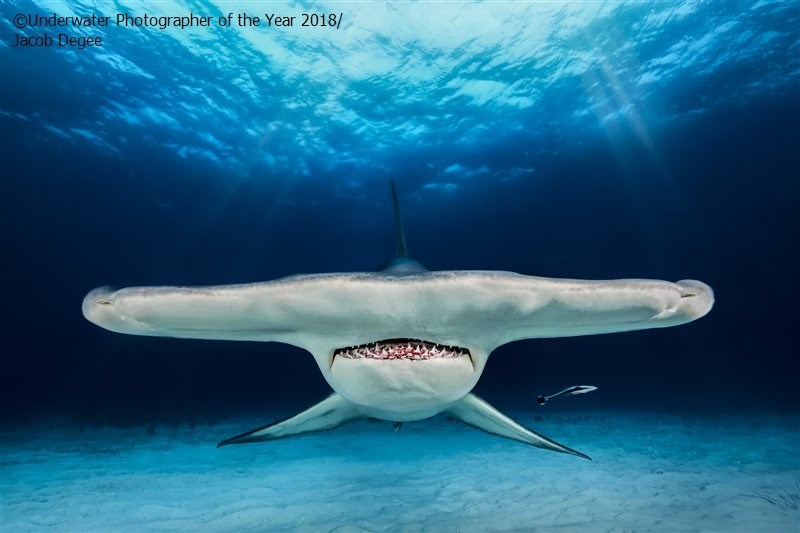 Shark - OUnderwater Photographer of the Year 2018/ Jacob Degee