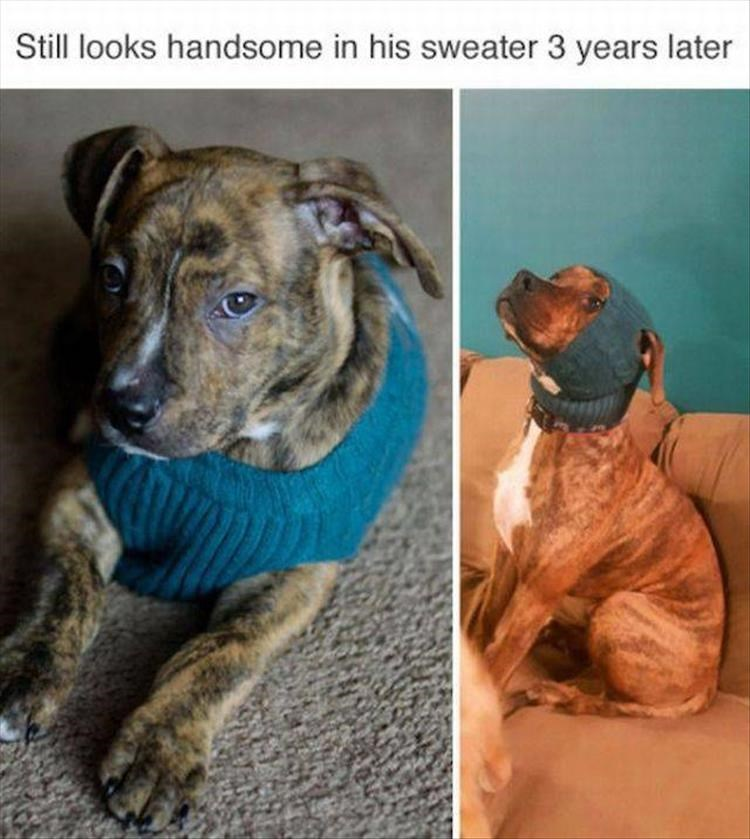 dog meme wearing his sweater from when he was a puppy