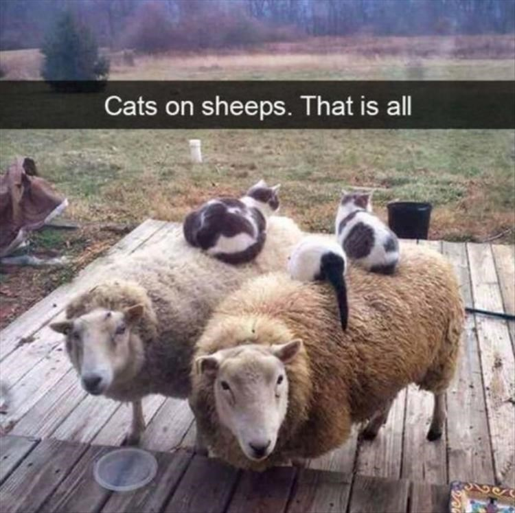 cats laying on top of sheep outdoors