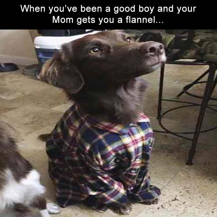 cute brown dog wearing a flannel and sitting near the kitchen