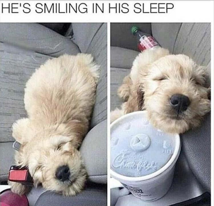 dog smiling while sleeping in a car